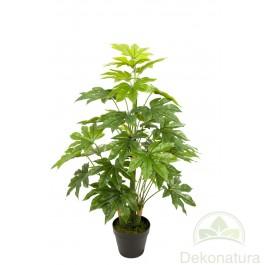 Planta Aralia