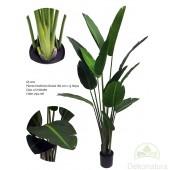 Planta Sterlizia Nicolai