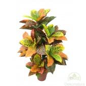 Planta Crotons